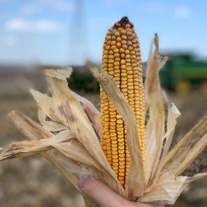 An ear of Iowa corn